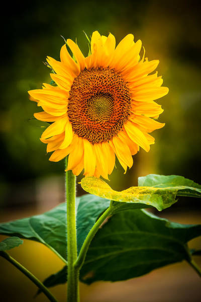 Photograph - Sunflower And Pollen by Keith Allen