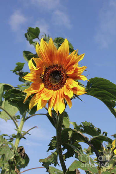 Photograph - Sunflower And Sky by Donna L Munro