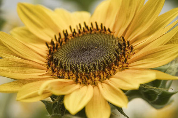Photograph - Sunflower Bloom by James BO Insogna