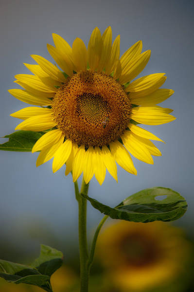 Photograph - Sunflower Bow by Rick Hartigan