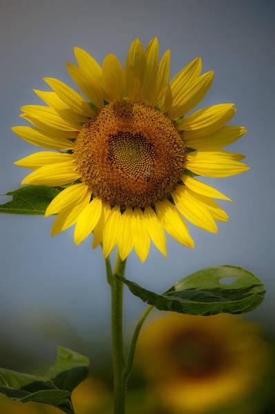 Sunflower Bow Art Print