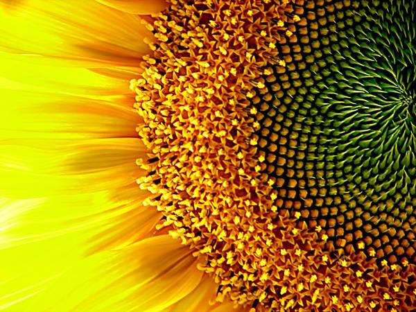 Photograph - Sunflower Center by Rick Wicker
