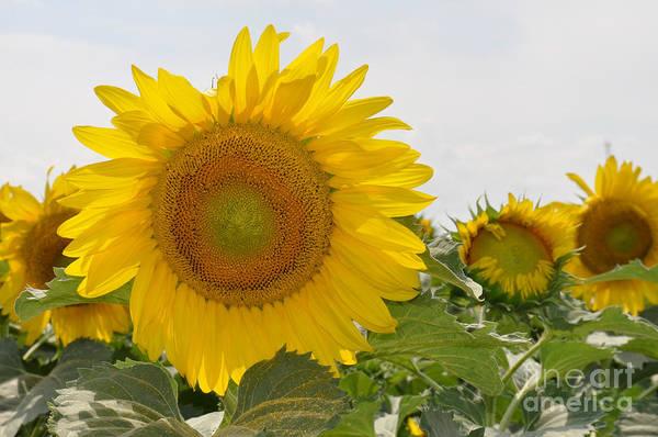 Photograph - Sunflower by Cheryl McClure