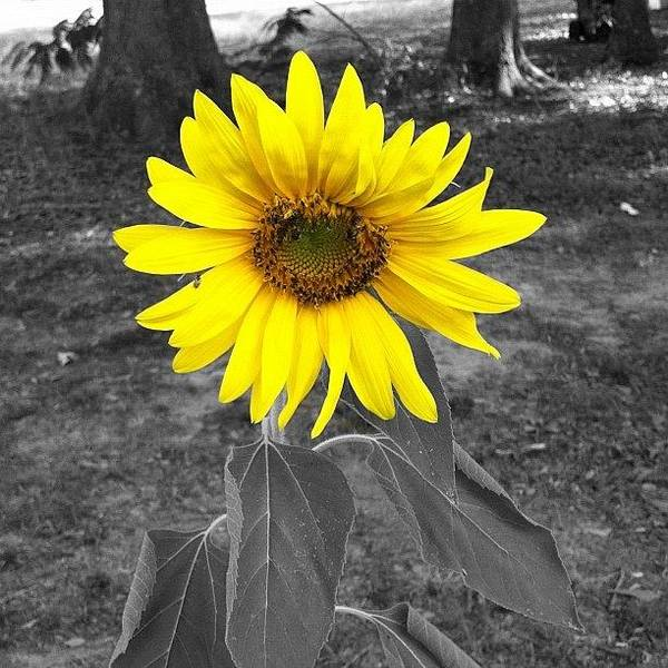Sunflowers Wall Art - Photograph - Sunflower by Derek M