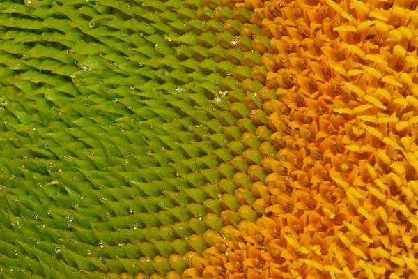 Sunflower Seeds Photograph - Sunflower Detail by Jean Noren