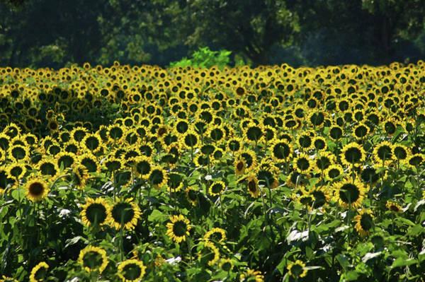 Alabama Painting - Sunflower Field Closeup by Michael Thomas