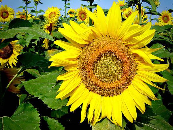 Sunflower Seeds Photograph - Sunflower Fields 1 by Julie Palencia