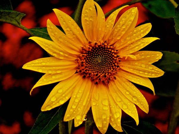 Wall Art - Photograph - Sunflower by Gloria Warren