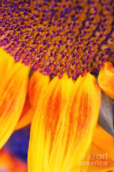 Photograph - Sunflower IIi by Silvia Ganora