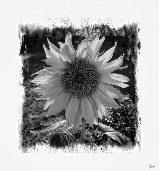 Photograph - Sunflower by Jeff Breiman