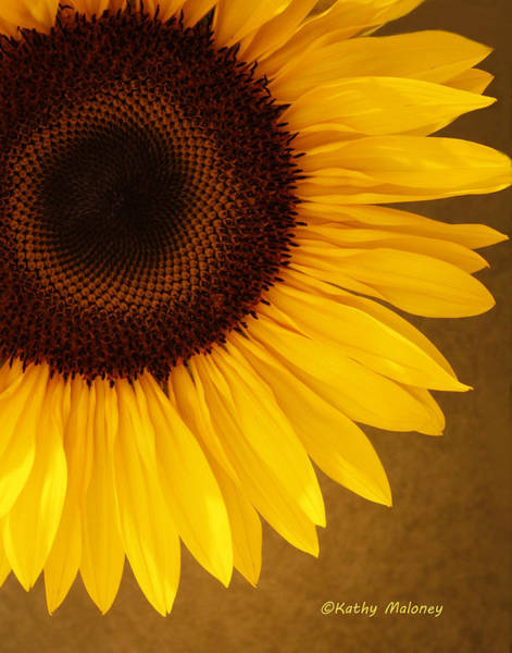 Photograph - Sunflower by Kathy Maloney