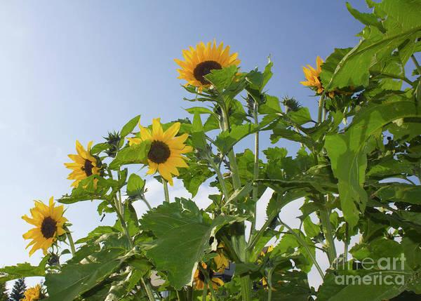 Photograph - Sunflower Landscape by Donna L Munro