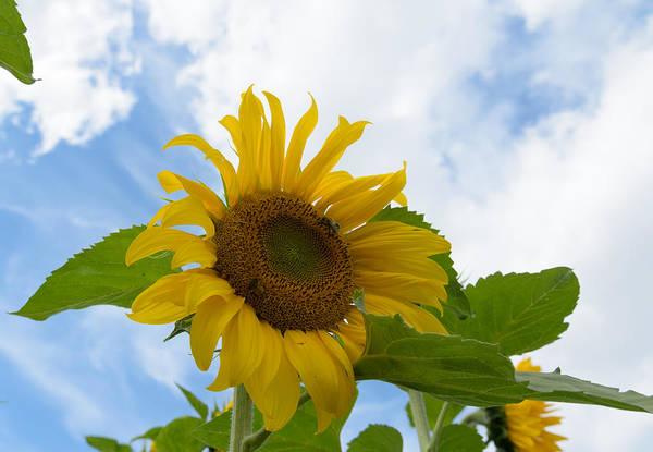 Photograph - Sunflower by Michael Goyberg