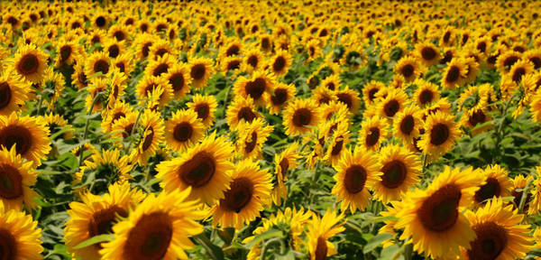 Photograph - Sunflower Panorama by Nancy De Flon