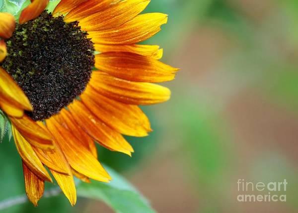 Photograph - Sunflower Peeking In by Sabrina L Ryan