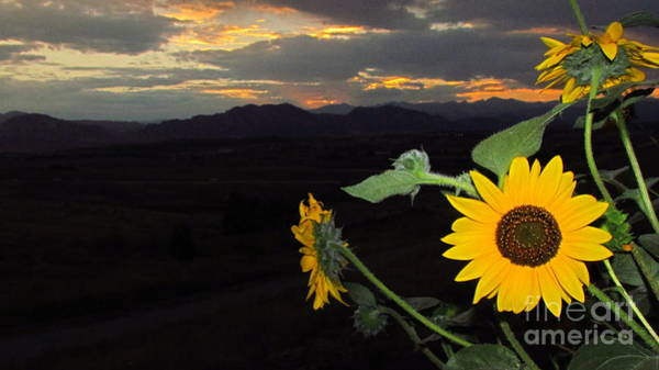 Painting - Sunflower Sunset by Eric Dee