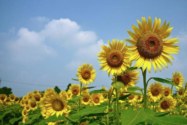 Horizontal Landscape Photograph - Sunflower by T. Kurachi