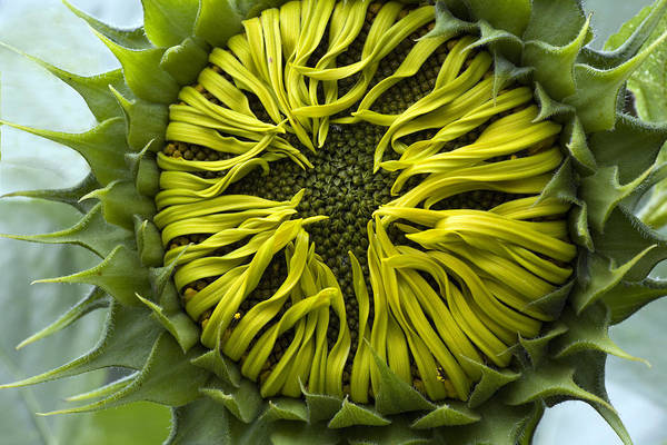 Sunflower Seeds Photograph - As The Petals Unfurl by Mal Bray