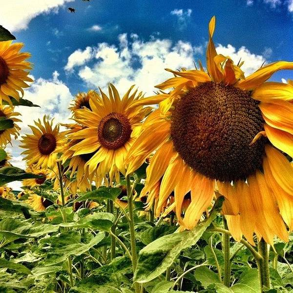 Sunflowers Wall Art - Photograph - Sunflowerpower! by Urs Steiner