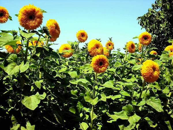 Photograph - Sunflowers At Kendall Jackson Wine Estates by Kelly Manning