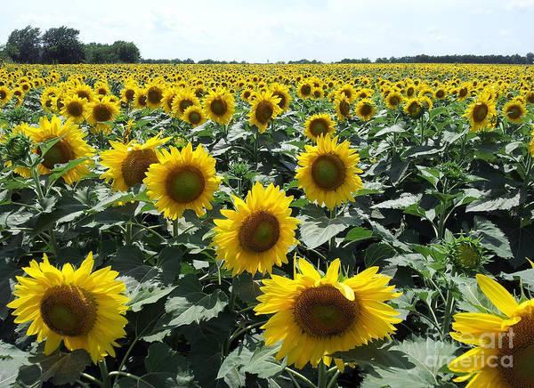 Photograph - Sunflowers by Cheryl McClure