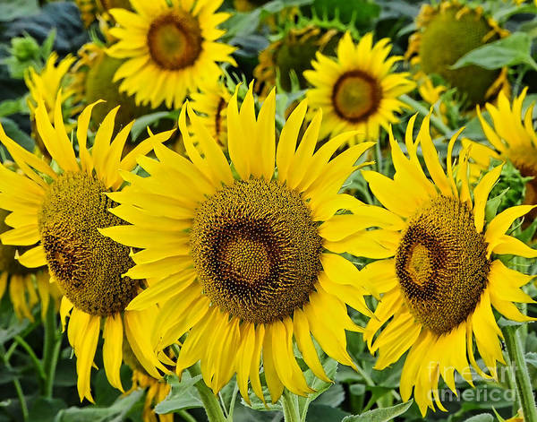 Photograph - Sunflowers by Gary Beeler