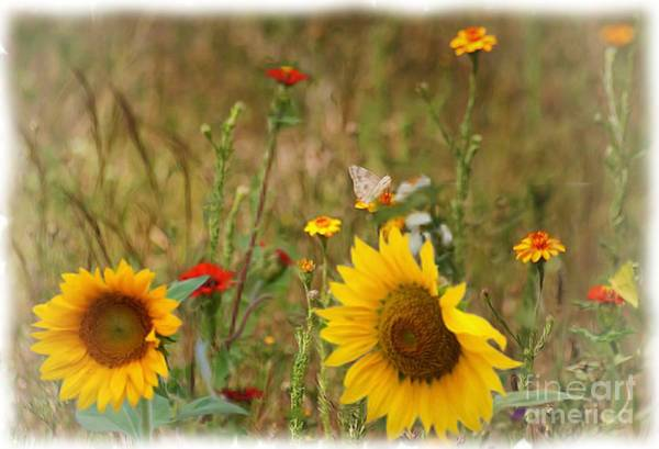 Photograph - Sunflowers In  The  Wild  by John  Kolenberg