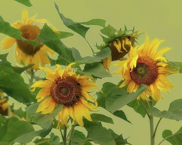 Photograph - Sunflowers by Photo by James Keith