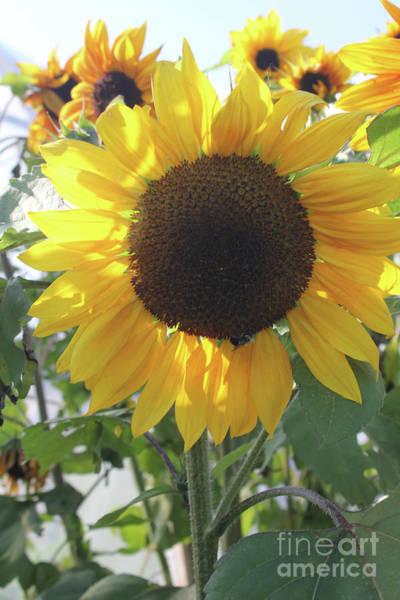 Photograph - Sunflowers Portrait by Donna L Munro