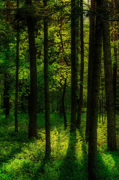 Photograph - Sunlight In Forest by Michael Goyberg