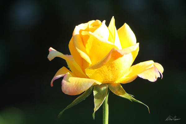 Photograph - Sunlight On Yellow Rose by Diana Haronis