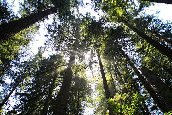Photograph - Sunlight Through The Tall Redwood Trees by Pierre Leclerc Photography