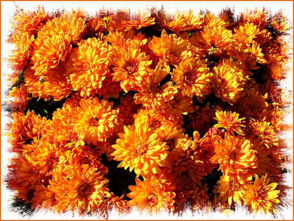 Photograph - Sunlit Chrysanthemums On A Fall Day by Chantal PhotoPix