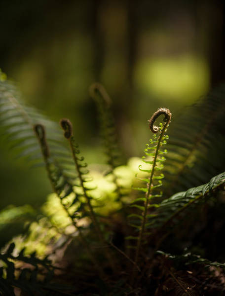 Olympics Photograph - Sunlit Fiddleheads by Mike Reid