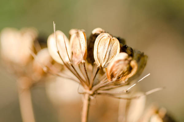 Photograph - Sunlit Seeds by Margaret Pitcher