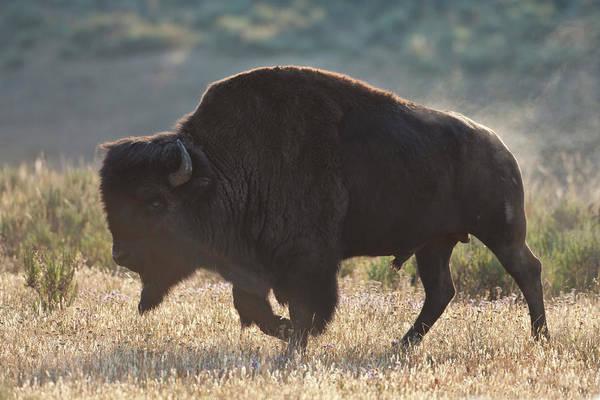 Photograph - Sunrise Buffalo by D Robert Franz