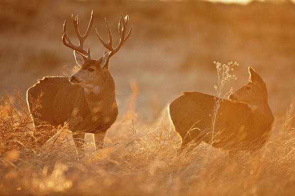 Sunrise Mule Deer Art Print