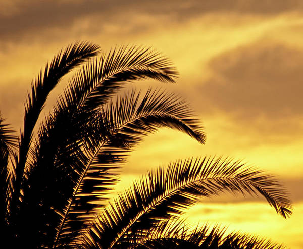 Photograph - Sunset Palms by Carolyn Marshall