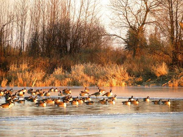 Photograph - Sunset With Canada Geese by Peggy  McDonald