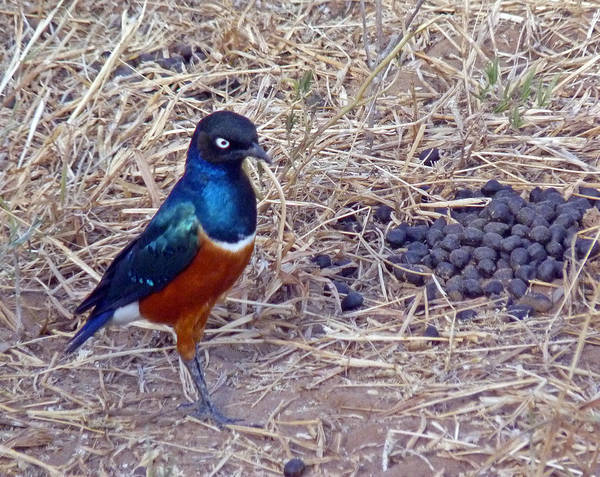 Photograph - Superb Starling by Tony Murtagh