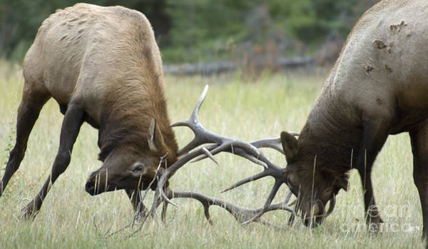 Wapiti Photograph - Survival Of The Fittest by Bob Christopher