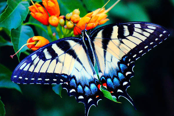 Photograph - Swallow Tail Butterfly by Barry Jones