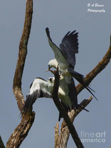 Photograph - Swallow Tailed Kite Feeding A Fledgling by Barbara Bowen
