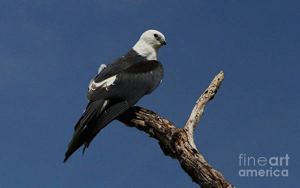 Photograph - Swallow-tailed Kite Roost by Barbara Bowen