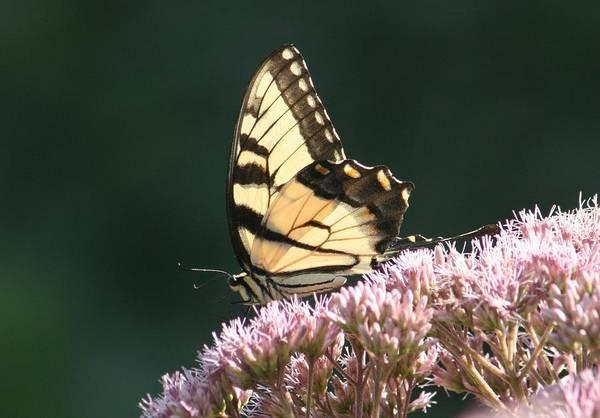Wall Art - Photograph - Swallowtail Beauty by Valia Bradshaw