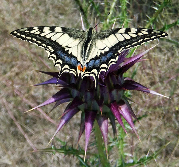 Pyrography - Swallowtail by Eric Kempson