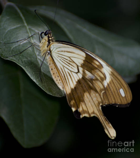 Photograph - Swallowtail by Heather Applegate