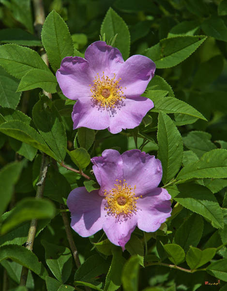 Photograph - Swamp Roses Rosa Palustris Dsmf179 by Gerry Gantt