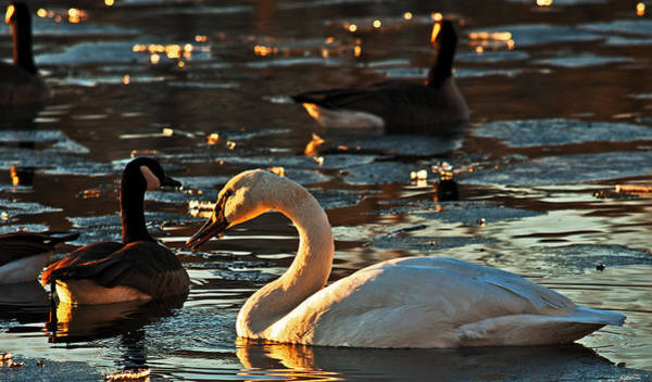 Photograph - Swan And Sunset by Edward Peterson
