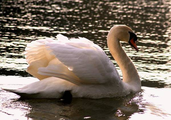 Wall Art - Photograph - Swan Beauty by Valia Bradshaw